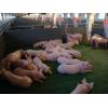 Ищем партнеров для совместной деятельности или покупателей свинокомплекса.
